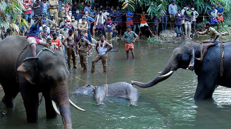 Two elephants are carrying a dead elephant from a river. People are bystander.